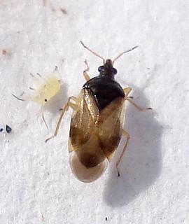 DSC09960 Heteroptera Orius laevigatus ??