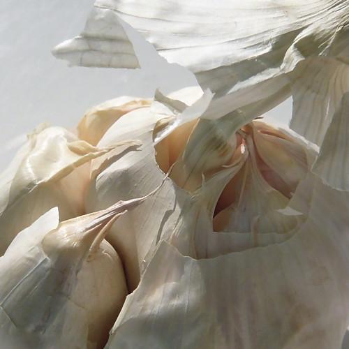 white art nature de cabeza garlic ail blanc knoblauch ajo noisette 500x500 creamoffugu winner500 têtedail σκόρδα الثوم