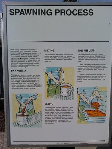 Salmon Hatchery display