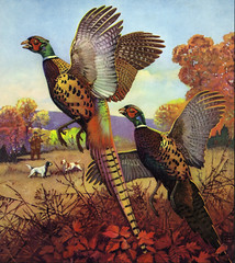 Ring Neck Pheasants - The First Shot Of The Season