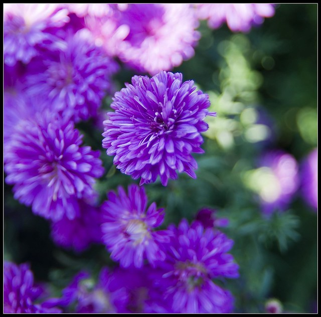 Purple aster flickr photo sharing