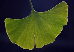 leaf, ginkgo, plant, macro photography, flora, green, plant stem,