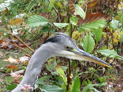 green heron(0.0), pelecaniformes(0.0), animal(1.0), fauna(1.0), heron(1.0), beak(1.0), bird(1.0), wildlife(1.0), egret(1.0),