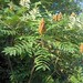 smooth sumac - Photo (c) Homer Edward Price, some rights reserved (CC BY)