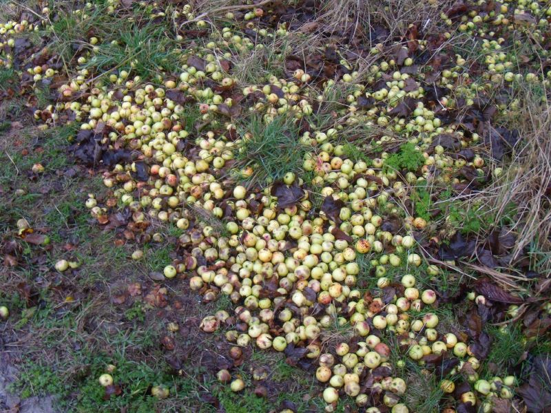 Rotten apples There's always one..... Saunderton circular via Bledlow