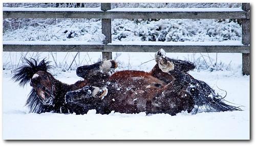 Hackney Pony stallion