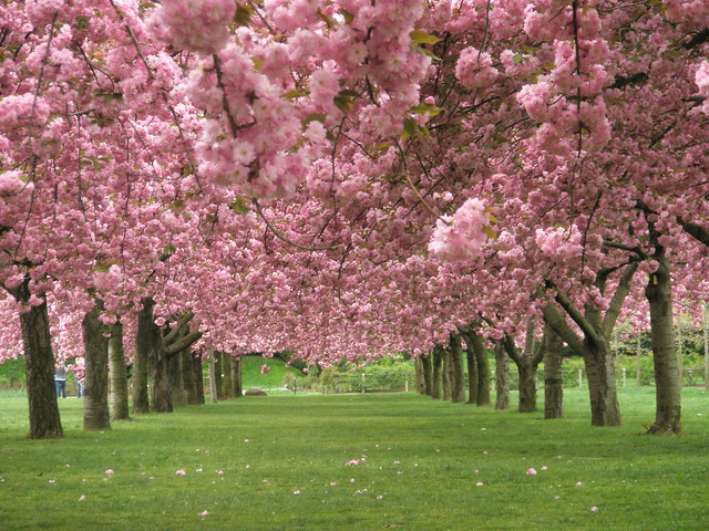 Cherry Blossoms At The Brooklyn Botanical Garden Flickr Photo Sharing