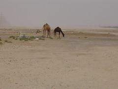 Camels 017