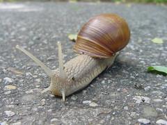 schnecken(0.0), animal(1.0), sea snail(1.0), molluscs(1.0), snail(1.0), marine biology(1.0), macro photography(1.0), fauna(1.0), close-up(1.0), slug(1.0),