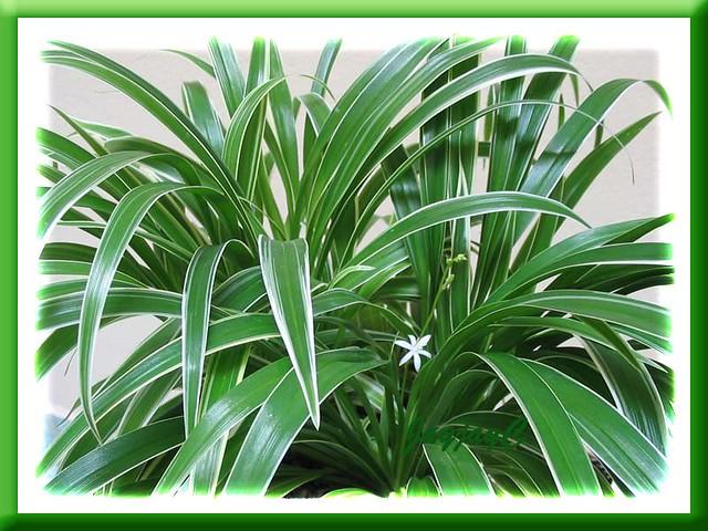 Dwarf Zz Plant