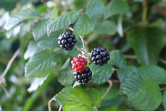 blackberry, shrub, berry, branch, red mulberry, plant, produce, fruit, food, dewberry, bramble,