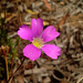Calandrinia - Photo (c) Ilena, some rights reserved (CC BY-SA)