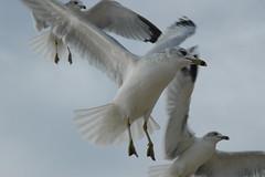 Sea Gull 012