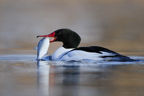 Common merganser with supper