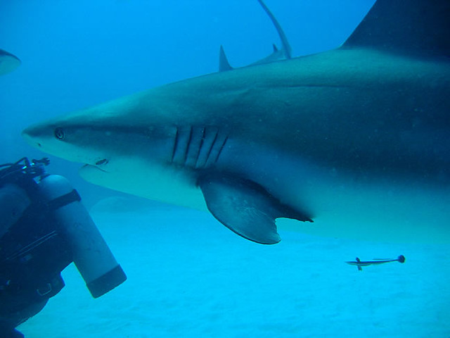 UNEXSO shark dive, Grand Bahama