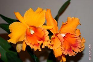 Cattleya naranja