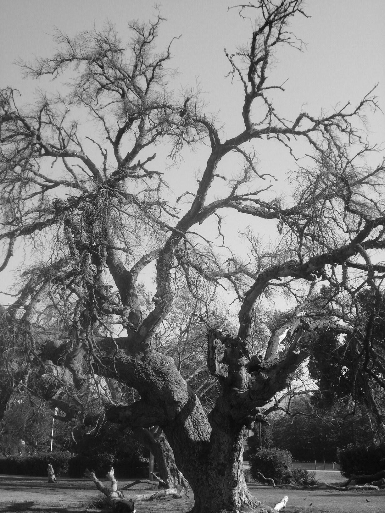 Im genes de arboles sin hojas imagui for Arboles de hoja perenne sin fruto
