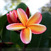 Plumeria Nebel's Rainbow by david.richter
