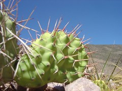 flower(0.0), barbary fig(0.0), acanthocereus tetragonus(0.0), echinopsis pachanoi(0.0), nopal(0.0), opuntia(0.0), plant stem(0.0), plant(1.0), thorns, spines, and prickles(1.0), eastern prickly pear(1.0), cactus family(1.0),