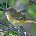 Bell's Vireo - Photo (c) Jerry Oldenettel, some rights reserved (CC BY-NC-SA)