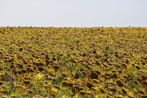 field scenery sunflowers northdakota deslacs