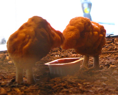 Chicken Nuggets Feeding,The Village Pet Store and Charcoal Grill, New York