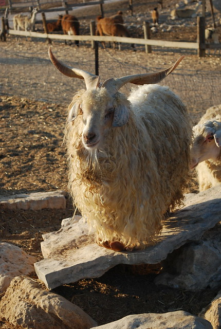 funny looking goat - photo #18