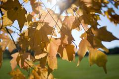 Fall 2008 - Leaves