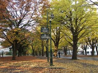 北海道大學銀杏道 @ 2008-10-26