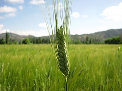 hordeum, prairie, agriculture, triticale, rye, food grain, field, barley, wheat, plant, food, paddy field, crop, meadow, cereal, plant stem, grassland,