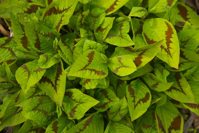 persicaria lance corporal  277