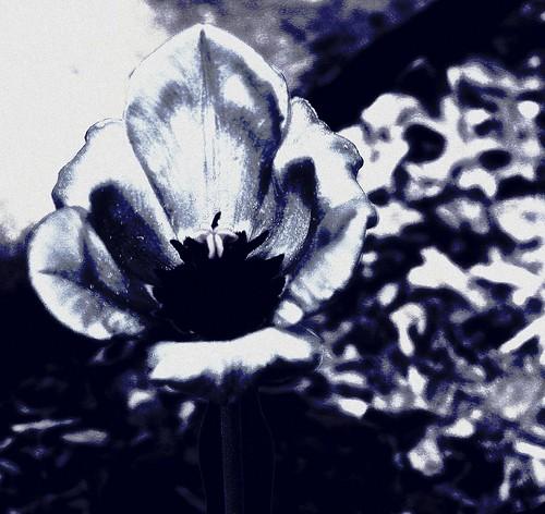 flower geotagged spring rocks kentucky crossprocessing tulip duotone suburbs pollen onwhite topview onblack flowerbeds postprocessing louisvillekentucky ohiorivervalley fernvalley spring2006 centralkentucky viewonblack ohiorivercity jeffersoncountykentucky thebluegrassstate viewonwhite fernvalleyarea geo:lat=38163277 geo:lon=85683317