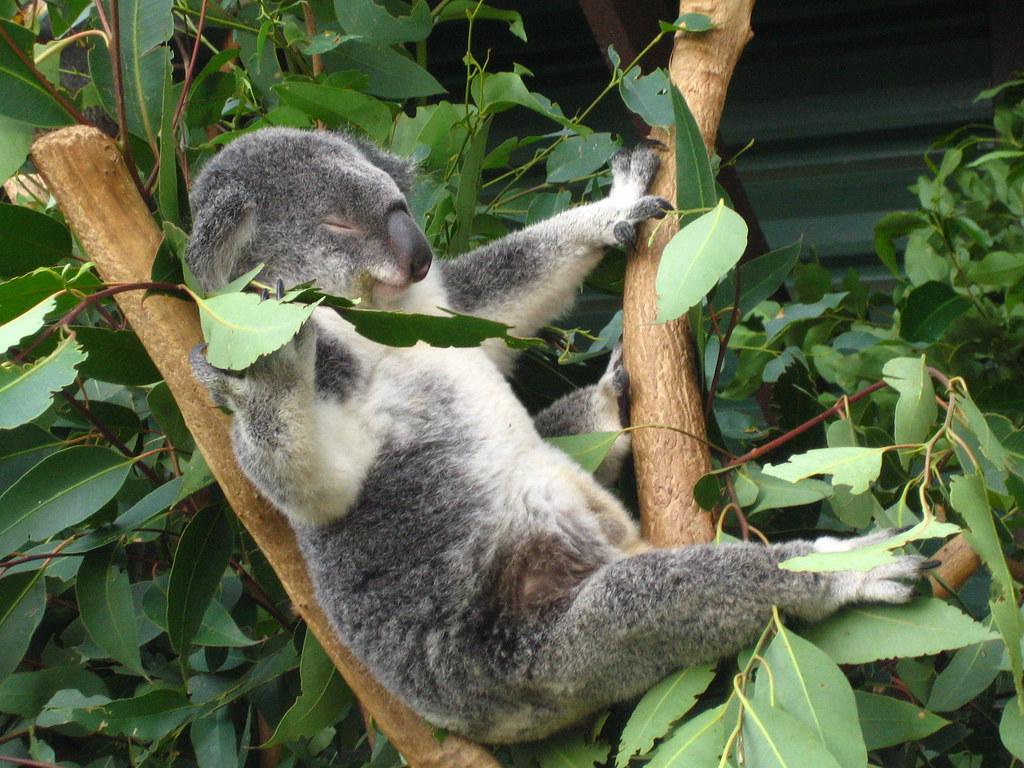 Relaxing Koala