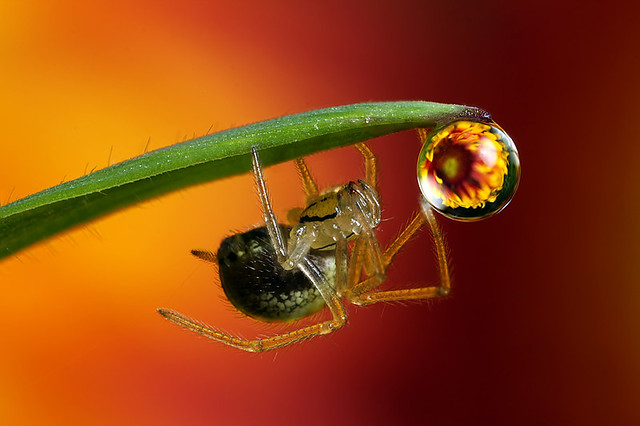 Flower dewdrop refraction #4 with spider