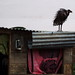 Small photo of Vulture on roof, Akamba Migration Garden