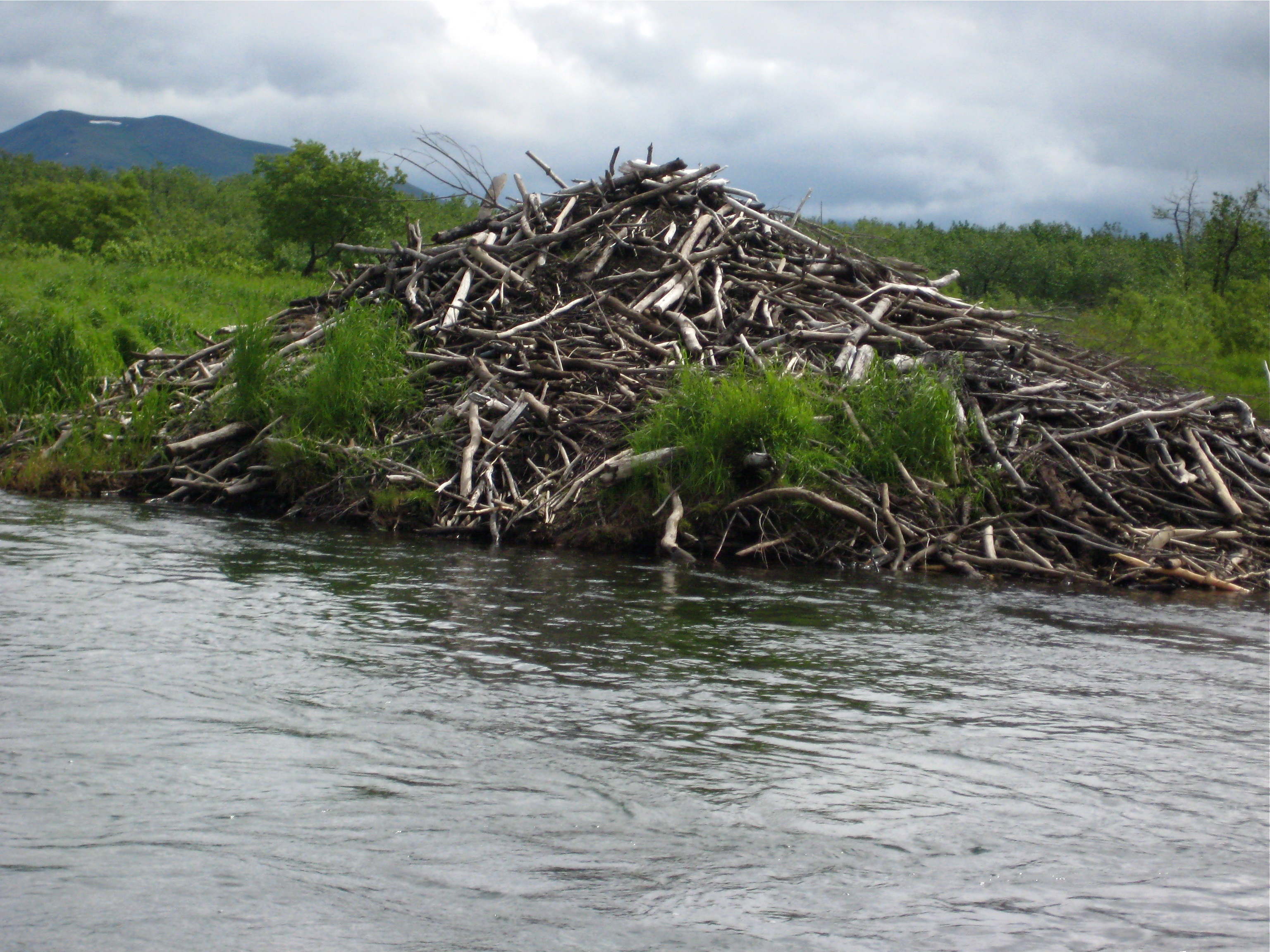 Inside a beaver lodge - photo#44