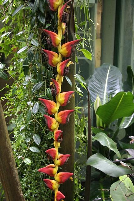 Heliconia pogonantha var. pogonantha 070127-2936
