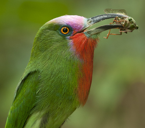 จาบคาเคราแดง Red-bearded Bee-eater (male) - Nyctyornis amictus with cicada Cryptotympana aquila (female)