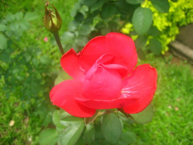 rosas vermelhas no meu jardim : rosas vermelhas no meu jardim ? Doitri.com
