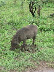 peccary(0.0), domestic pig(0.0), animal(1.0), wild boar(1.0), pig(1.0), grazing(1.0), fauna(1.0), pig-like mammal(1.0), wildlife(1.0),