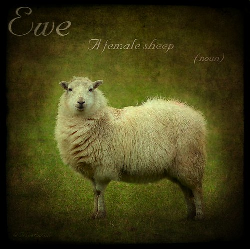Ewe - ( sheep ) Dictionary of Image .