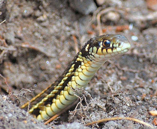 Baby garter snake i took a walk through my wildflower gard flickr photo sharing for What do baby garden snakes eat