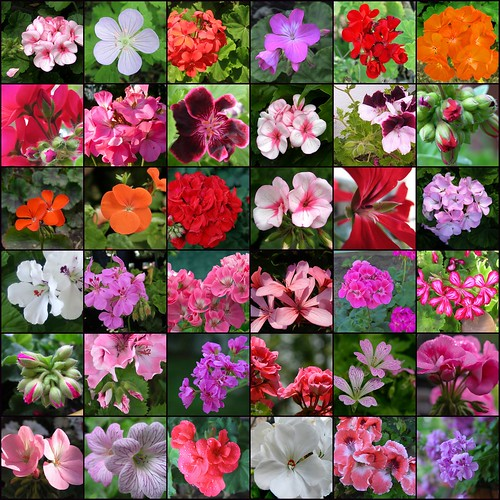 Photogenic pelargonium gardeners tips - How to care for ivy geranium ...