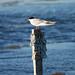 Tern At Shoreline