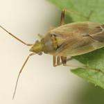 csőrös mezeipoloska - Amblytylus nasutus