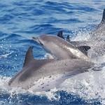 Dauphins tachetés / Atlantic spotted dolphin