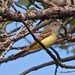 Great Crested Flycatcher - Photo (c) Jerry Oldenettel, some rights reserved (CC BY-NC-SA)