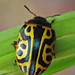 Calligraphic Beetles - Photo (c) Jerry Oldenettel, some rights reserved (CC BY-NC-SA)