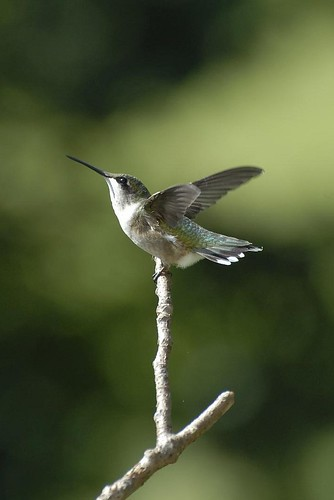 Hummingbird_09132008_02-cropped