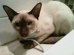 animal, siamese, small to medium-sized cats, pet, mammal, javanese, thai, tonkinese, cat, burmese, whiskers, balinese, devon rex, domestic short-haired cat,
